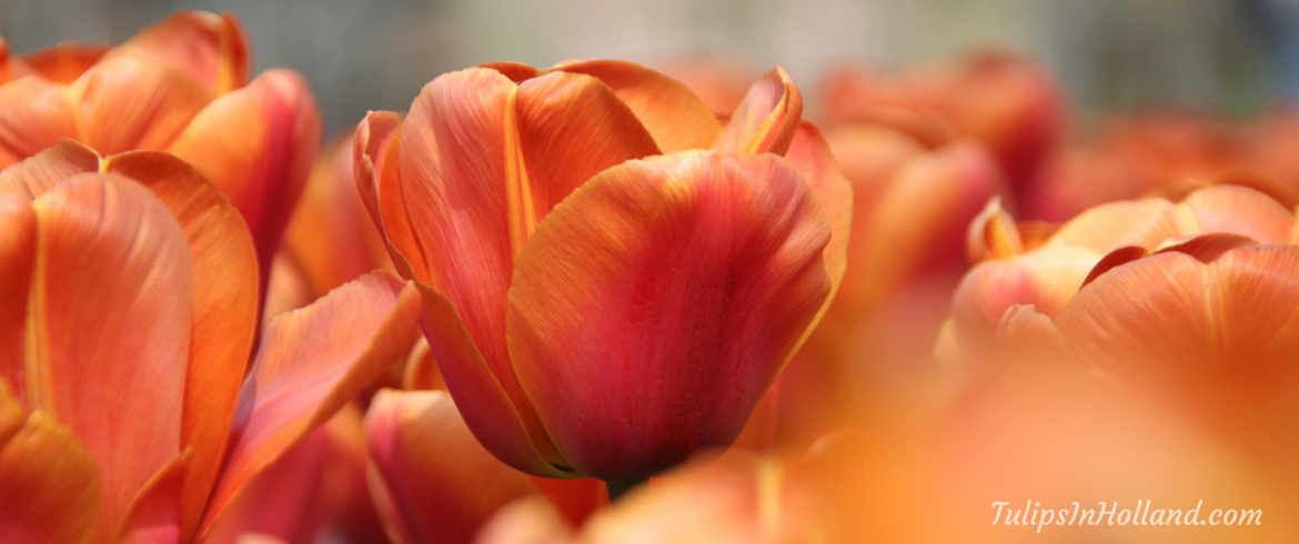 photos and videos tulips in holland
