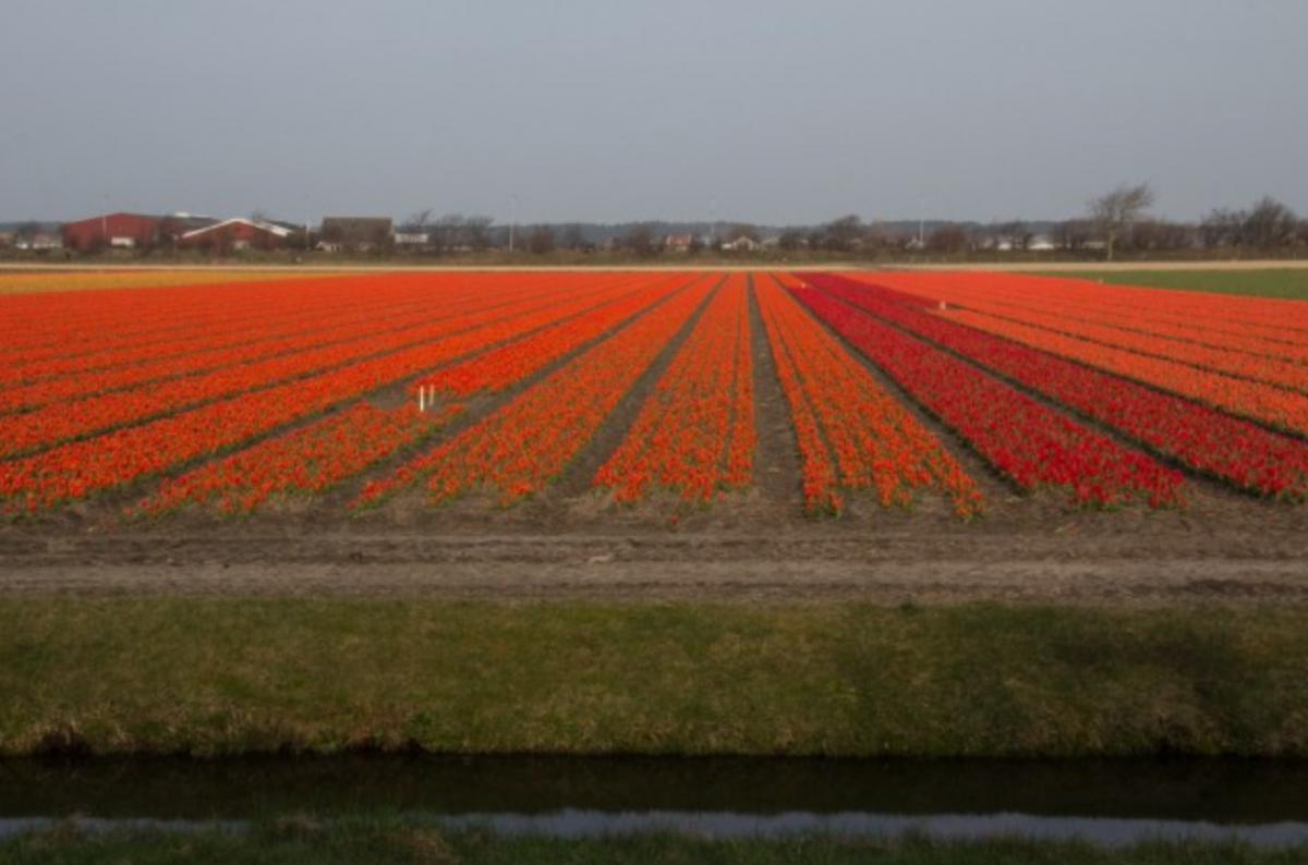 Red tulip flower field near Keukenhof - Tulips in Holland