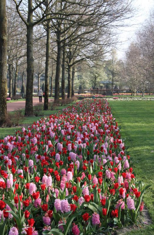 Tulips at Keukenhof pink and red tulips in holland tulipsinholland.com