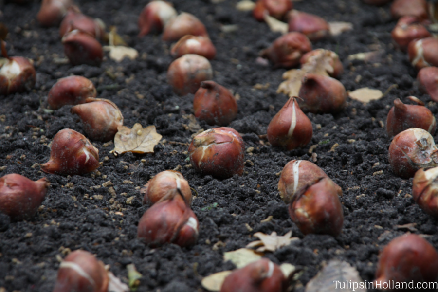 Tulipsinholland planting bulbs