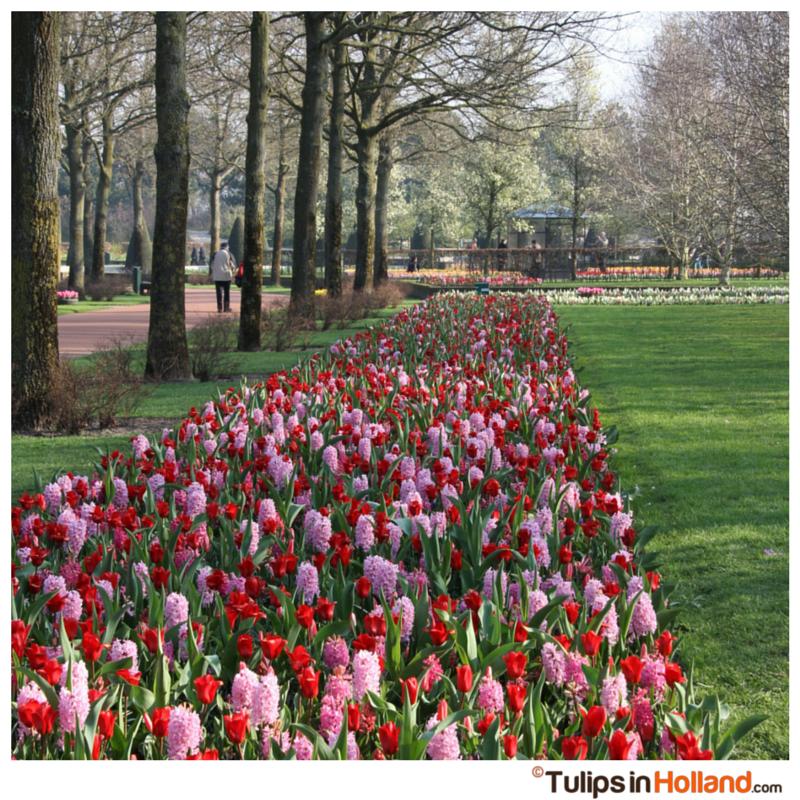 Flowerbeds Keukenhof tulips in holland tulipsinholland.com