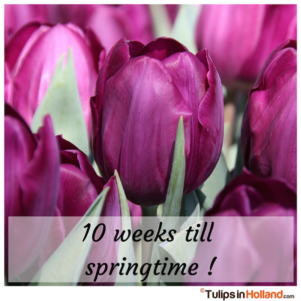 Countdown 10 weeks till springtime tulips in holland tulipsinholland.com