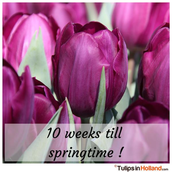 Countdown 10 weeks till springtime tulips in holland tulipsinholland.com