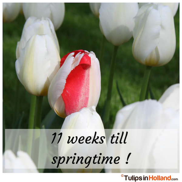 Countdown 11 weeks till springtime tulips in holland tulipsinholland.com