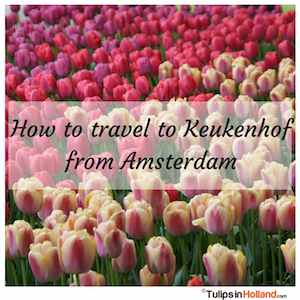 How to travel to Keukenhof from Amsterdam tulips in holland tulipsinholland.com