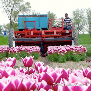Topping Tulips in Holland Tulipsinholland.com