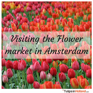 Visiting the Flower Market in Amsterdam tulips in holland tulipsinholland.com