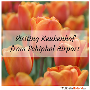 Visting keukenhof from Schiphol Airport tulips in holland tulipsinholland.com