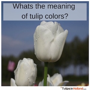 what is the meaning of tulip colors tulips in holland tulipsinholland.com