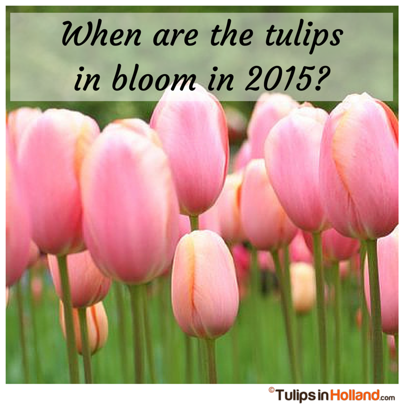 When are the tulips in bloom in 2015 tulipsinholland.com tulips in holland