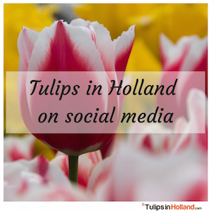 tulips in holland on social media tulipsinholland.com