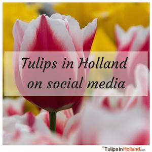 tulips in holland on social media tulipsinholland.com
