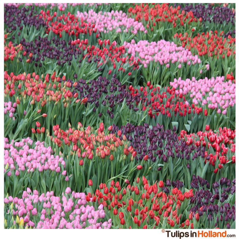 tulips on National Tulip Day 2015 Tulips in Holland tulipsinholland.com