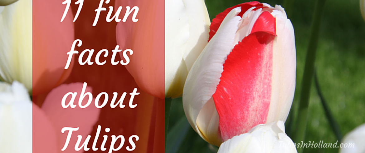 11 Fun facts about tulips