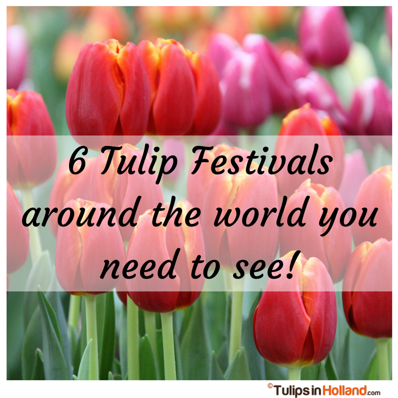 Tulip Festivals Around The World You Need To See Tulips In Holland - Holland tulip festival