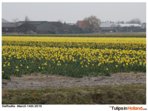 first daffodil field tulips in holland