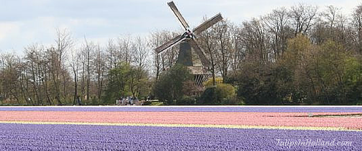 5 tips for cycling through the tulip fields