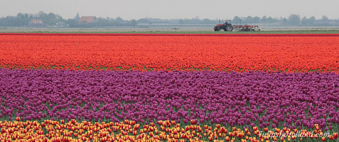 Flower fields of the Netherlands