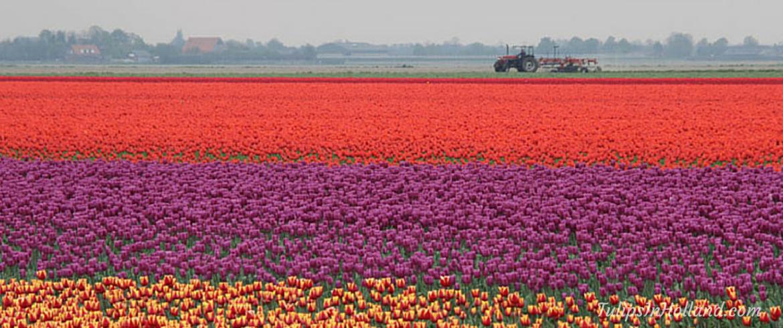 Flower fields of the Netherlands