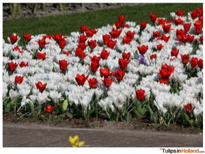 Keukenhof March 22th 2015 tulipsinholland.com 22