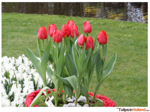 tulips in Holland photo 1