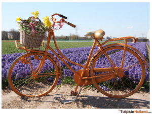 tulips in Holland photo 3