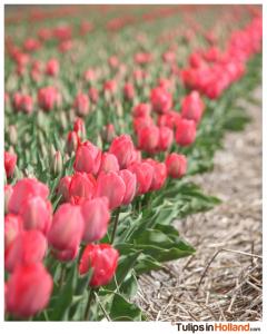 19 april tulips in holland tulipsinholland.com deel 1