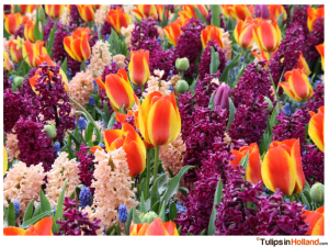 tulips in Holland photo 2