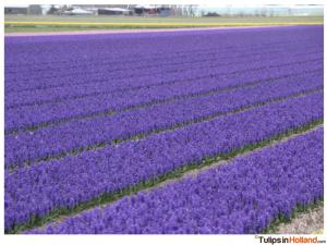 flower fields April 6th 2015 tulipsinholland.com 21