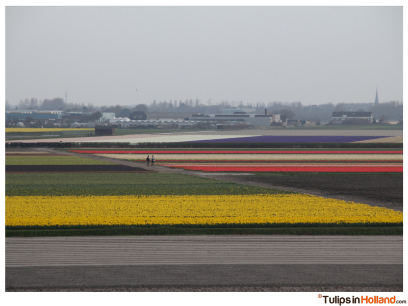 Flowerfields near Keukenhof tulipsinholland.com