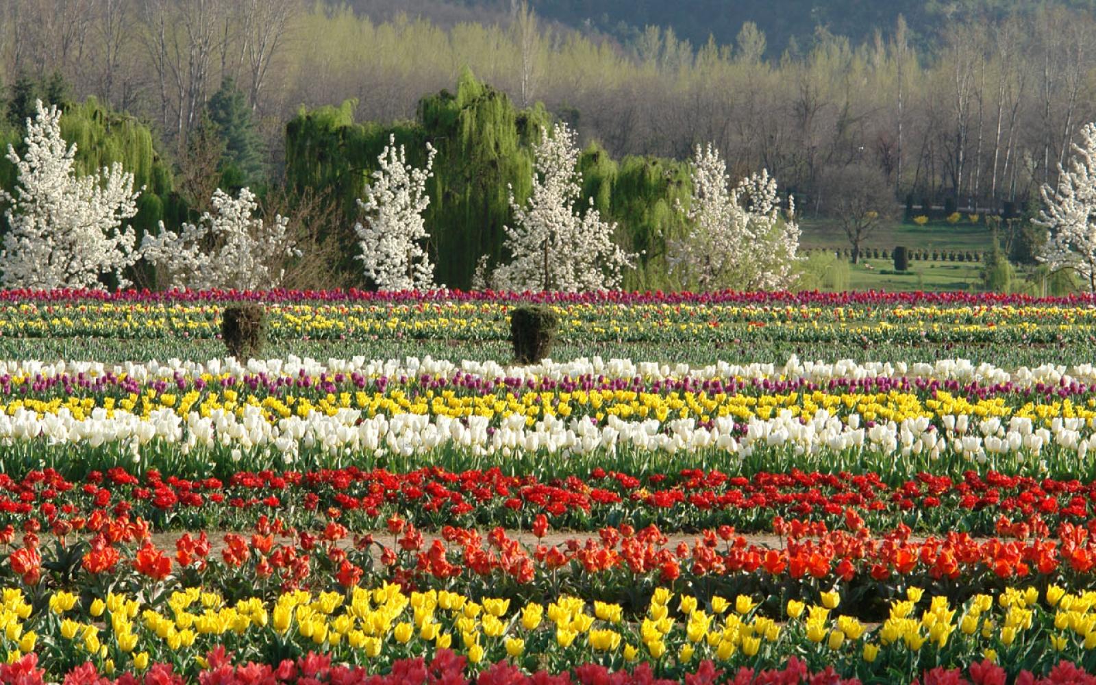 Calendar Jammu : Indira gandhi memorial tulip garden tulips in holland