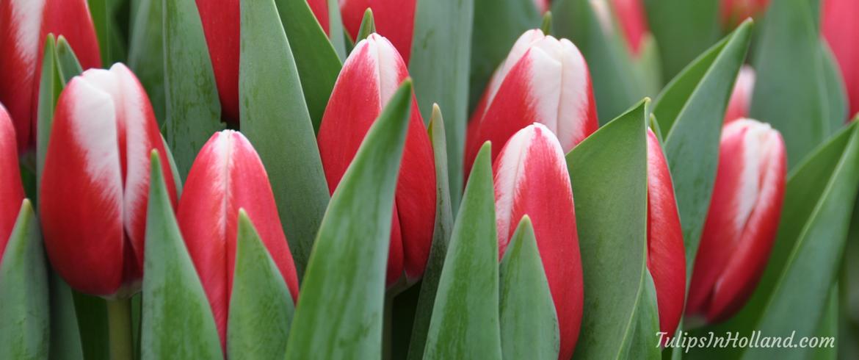 Paul McCartney tulip
