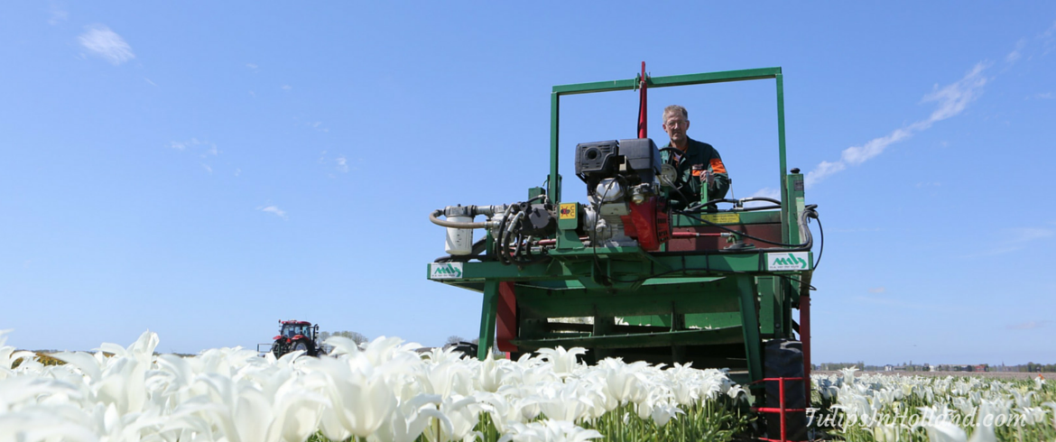 Topping tulips