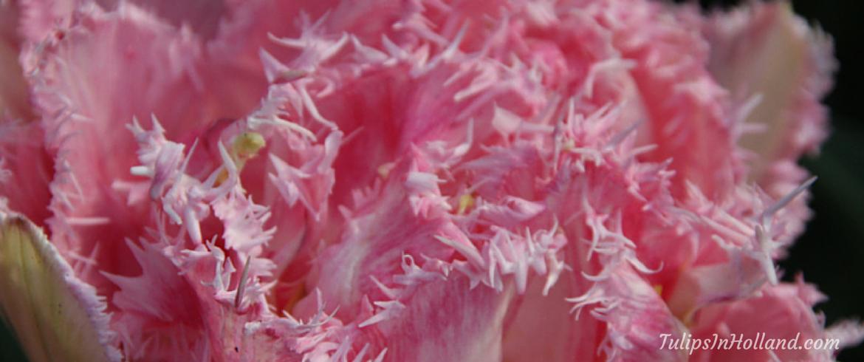 Double and fringed tulip tulipsinholland