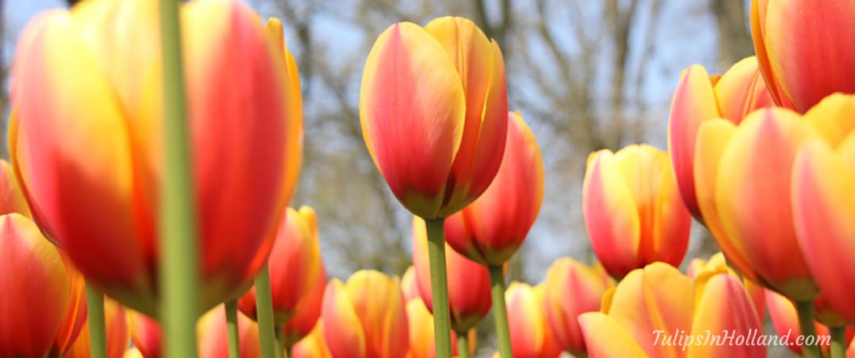 Happy Tulip Tuesday