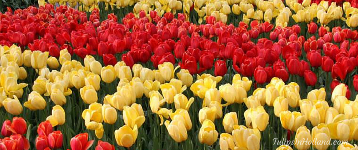 Red and yellow tulips tulipsinholland