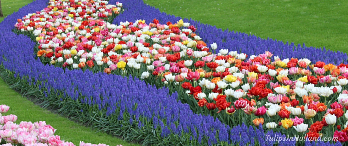 River of tulips Tulipsinholland