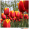 Tall red and yellow Tulips in Holland tulipsinholland.com 10