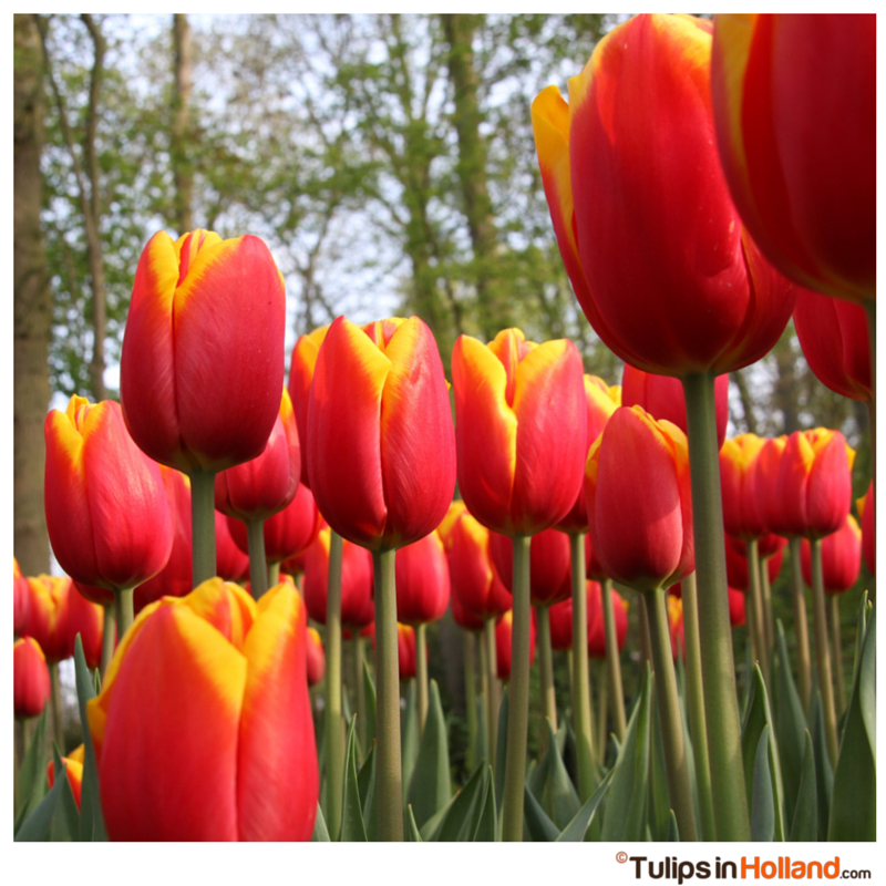 Tall red and yellow tulips tulips in holland tall red and yellow tulips mightylinksfo