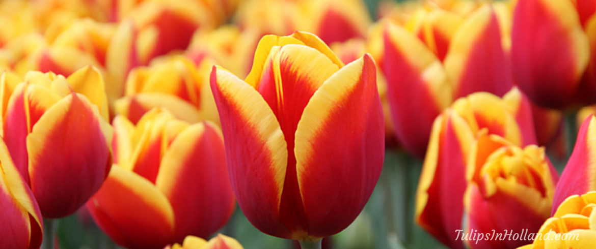 Weekly tulips and flower update