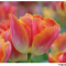 Have you joined the 1st ever giveaway of tulips in Holland?