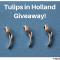 giveaway tulips in holland tulipsinholland.com