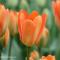 orange tulips in holland