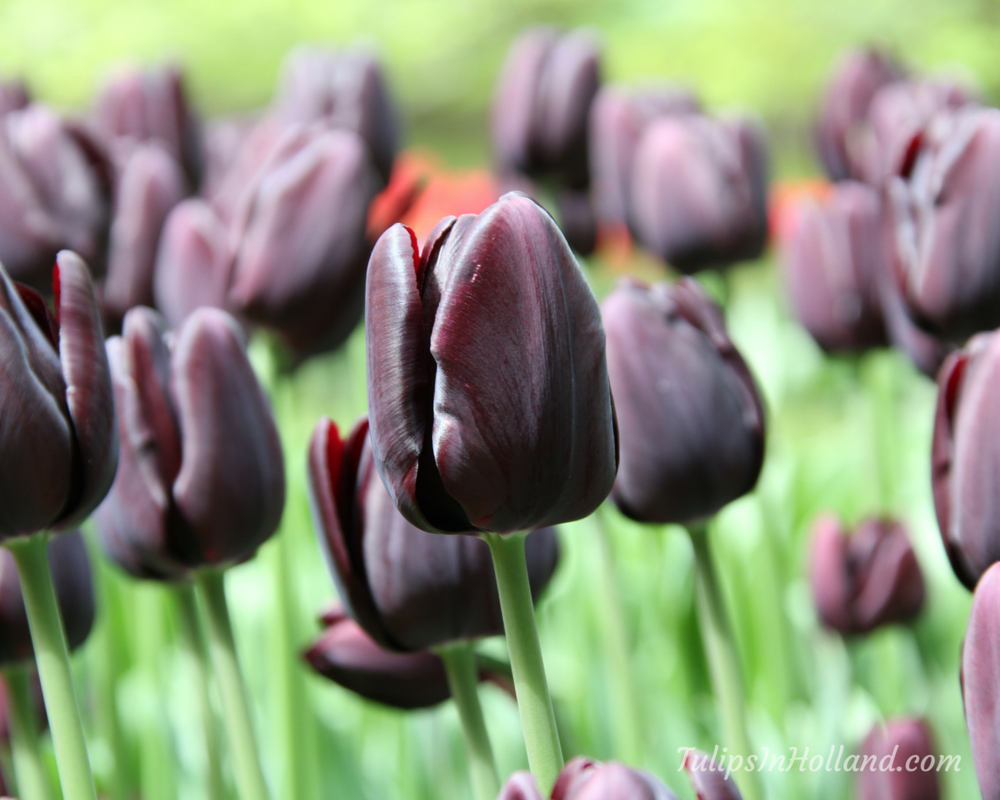 Tulip colors - Tulips in Holland