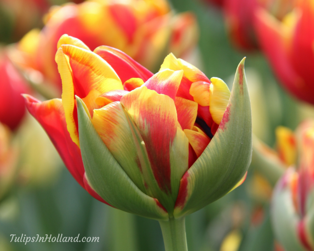 Tulip Colors Tulips In Holland