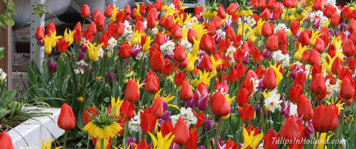 guest posting tulips in holland