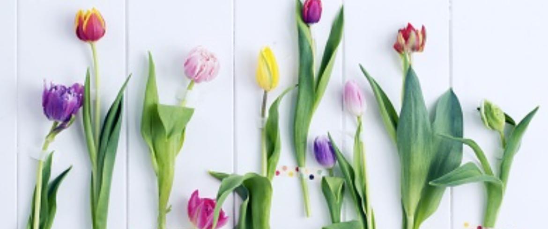 Favorite flower tulips in holland