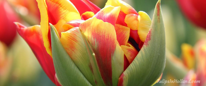 Tulip colors tulipsinholland.com