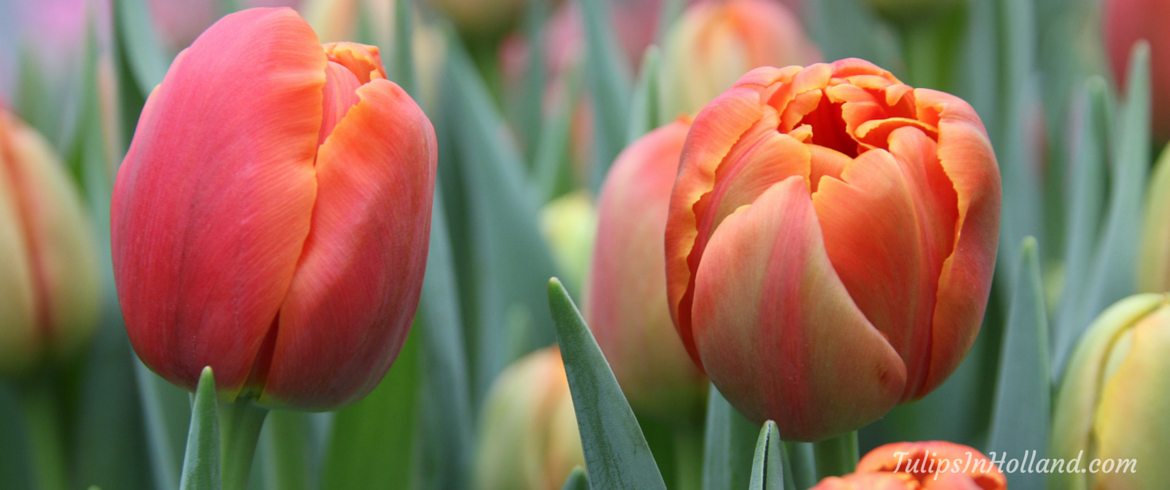 Tours and tickets to Keukenhof