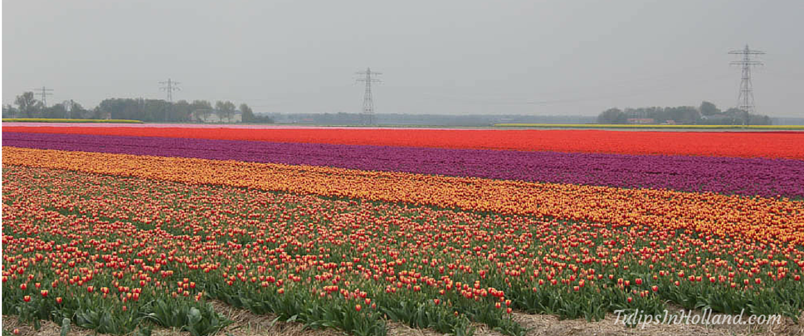 More tulip fields in the Netherlands
